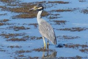 Ding Darling Birding Hotspot Night Heron