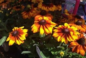 'Echibeckia' (Cross between black-eyed susan and coneflower)