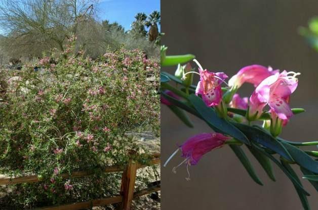 Pink Beauty (Eremophila laanii 'Pink Beauty')