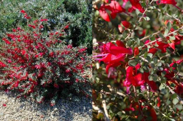 Valentine Bush (Eremophila maculata 'Valentine')
