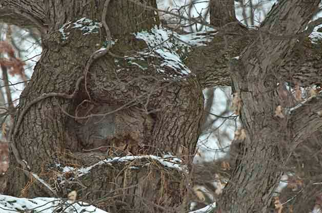 Can you find the Great Horned Owl in this