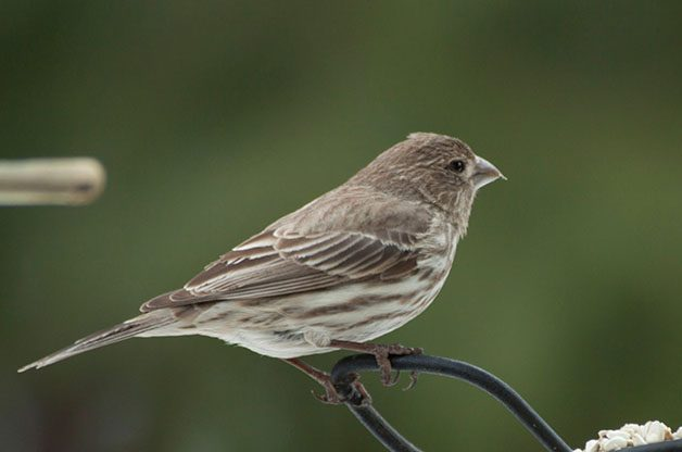 Female House Finches show brown streaking on the sides and very little pattern on the face.