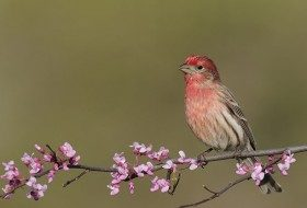 Male House Finches show a red head and chest as well as bold brown streaking on their sides. (Photo by Brian Zwiebel)