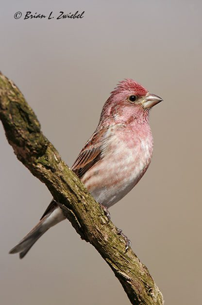 You can see that the color on the Purple Finch's head is slightly different than on the House Finch. Also note that the streaking on the sides more closely matches the color of the head and chest. (Photo by Brian Zwiebel)