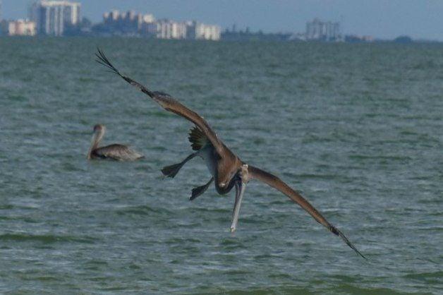 Shore Bird Watching - Brown Pelican