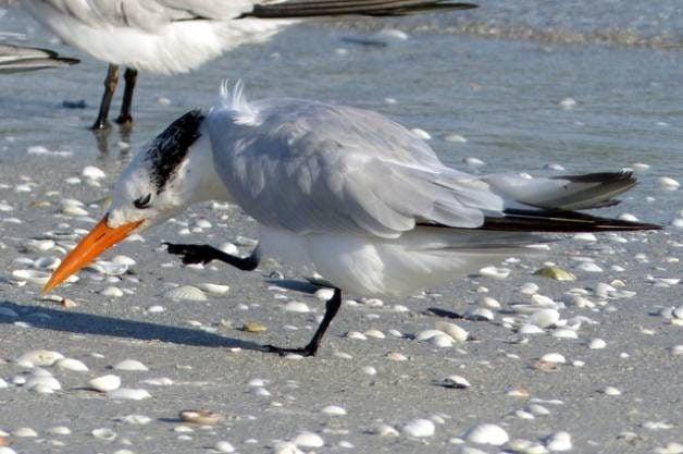 Shore Bird Watching - Royal Tern