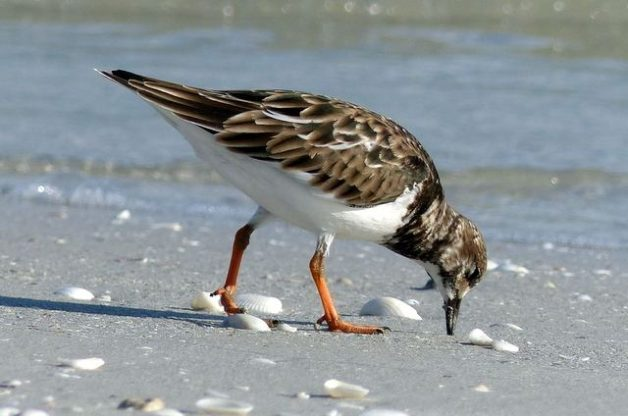 Shore Bird Watching - Ruddy Turnstone