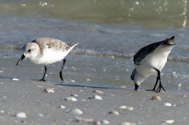 Shore Bird Watching - Sanderlings