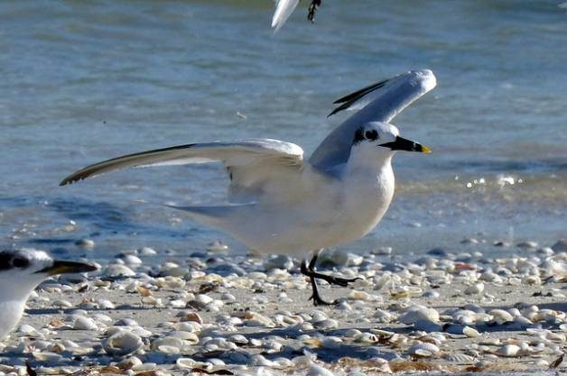 Shore Bird Watching - Sandwich Tern