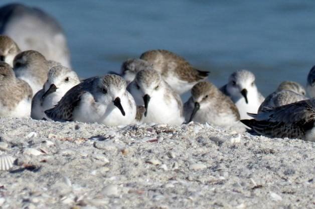 Shore Bird Watching - Sleepy Sanderling Trio