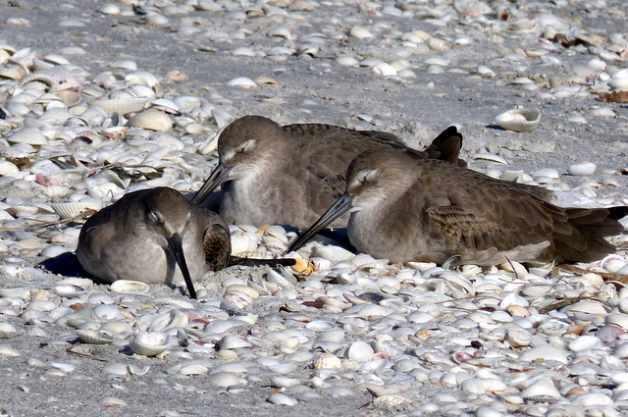 Shore Bird Watching - Willets