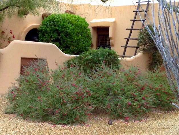 Flowering 'Valentine' shrubs add beauty to the drought tolerant landscape.