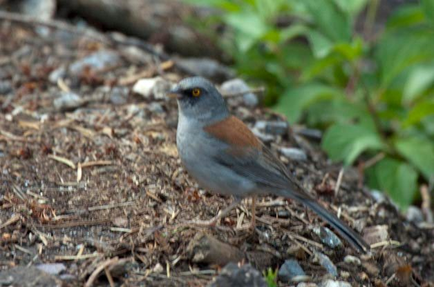 You can immediately separate this from all of the Dark-eyed Juncos by its bright yellow eye.