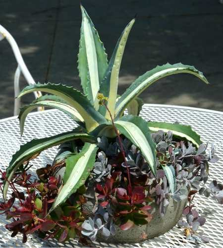 Agave medio-picta growing in a container in Madison, Wisconsin.