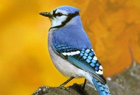 Attracting Blue Jays: Colorful Backyard Songbirds