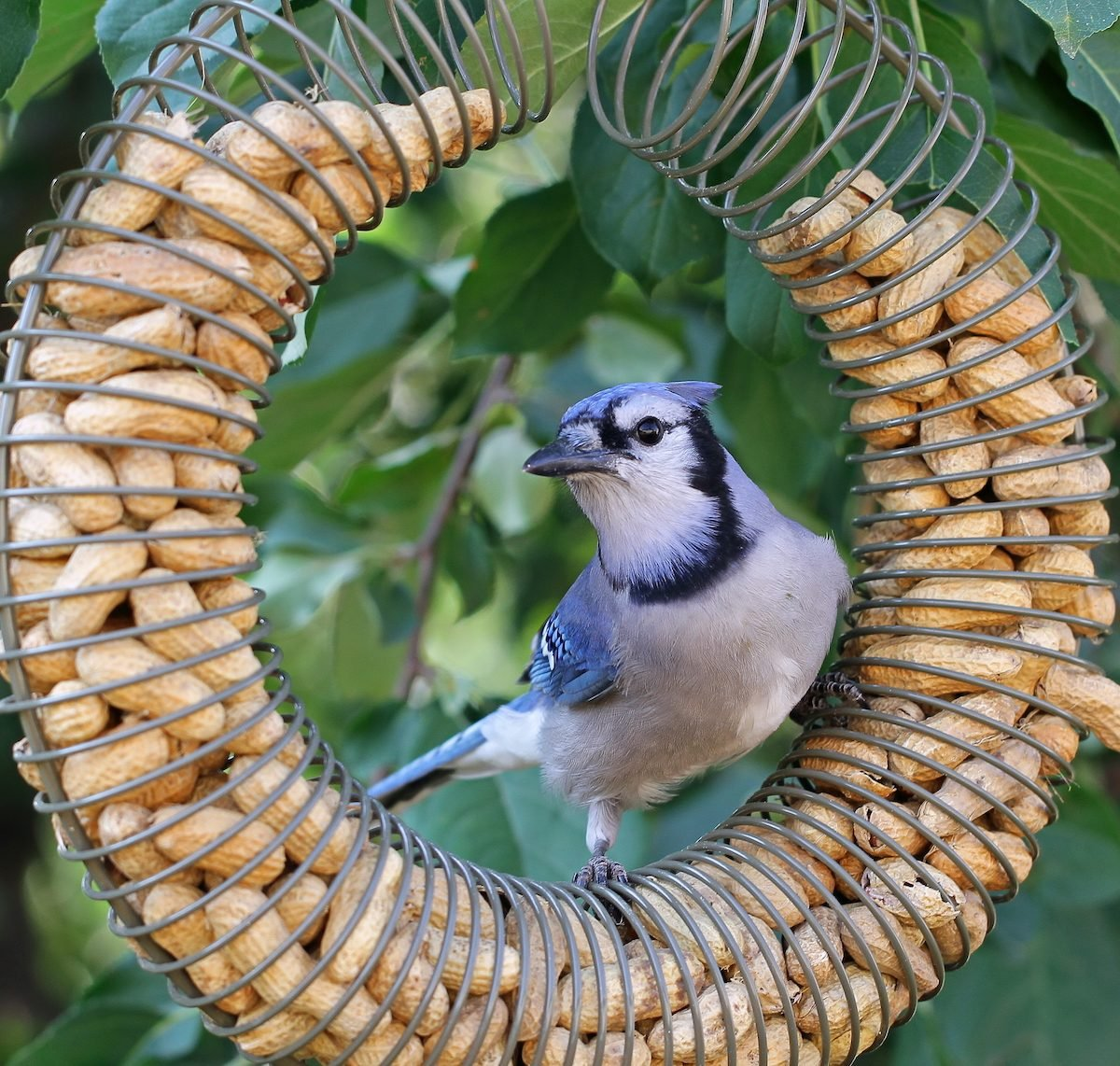 Blue jay on peanut bird feeder