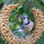 How to Identify and Attract Blue Jays