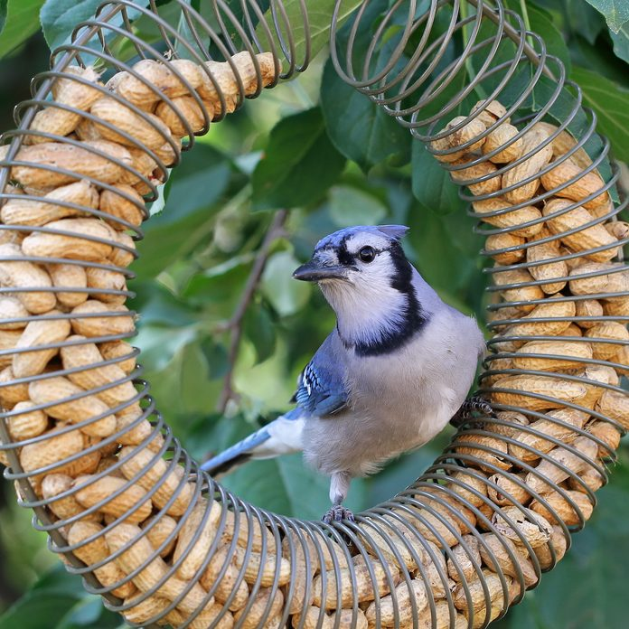 Blue jay on peanut bird, attract blue jays