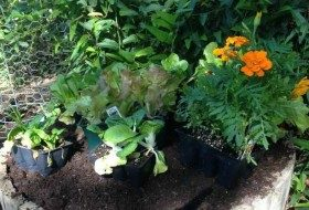 planting vegetables in containers