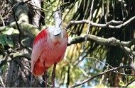 Friday Funny Photography: Roseate Spoonbill