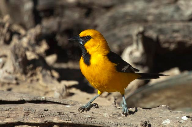 Top 5 Bird Species See in the Rio Grande Valley, Texas