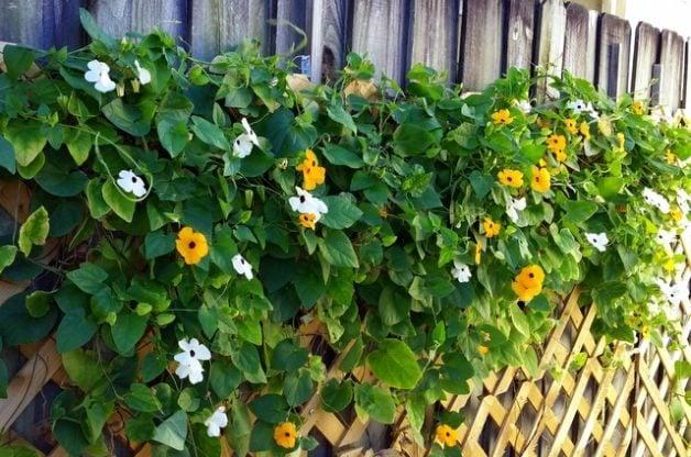Black Eyed Susan Vine In The Flower Garden Fast Growing