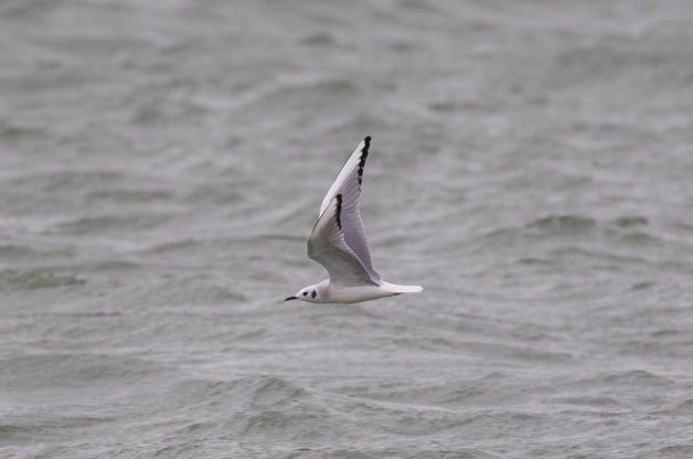 There are also plenty of Bonaparte's Gulls to be found.