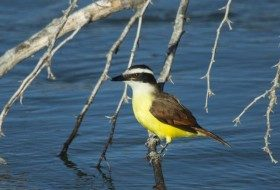 Great Kiskadees are also associated with the Rio Grande Valley just like Green Jays.