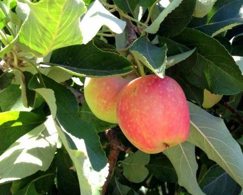 New apples on tree