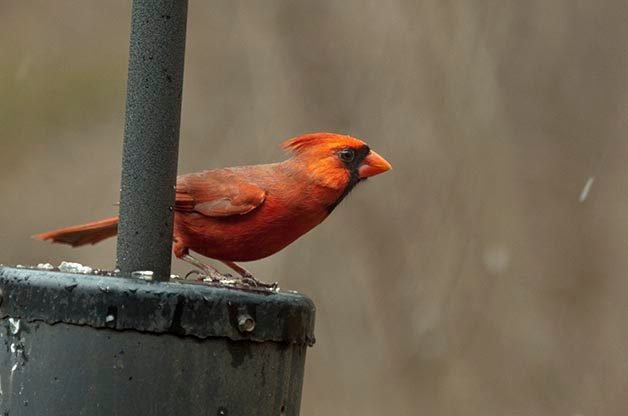 It's even important to document the numbers of common species like this Northern Cardinal.