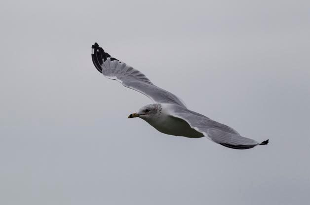 The most common gull that we find during our boat trips is the Ring-billed Gull.