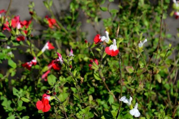 Salvia microphylla 'Lipstick'