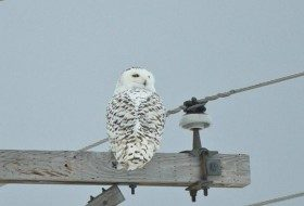 I photographed this Snowy Owl several years ago in the Upper Peninsula of Michigan which is an awesome place to see many of these owls.