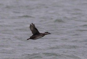 One of our big highlights for the day was finding a group of 4 Surf Scoters.
