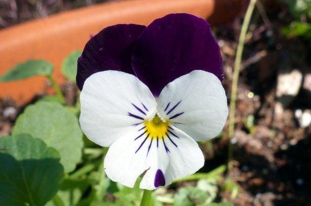 Violas in the Flower Garden 5