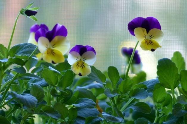 Violas in the Flower Garden 6