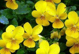 Violas in the Flower Garden 7