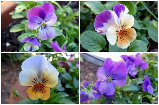 Violas in the Flower Garden 8