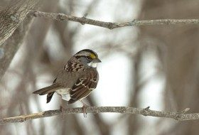 I think that White-throated Sparrows are one of our most beautiful sparrows.