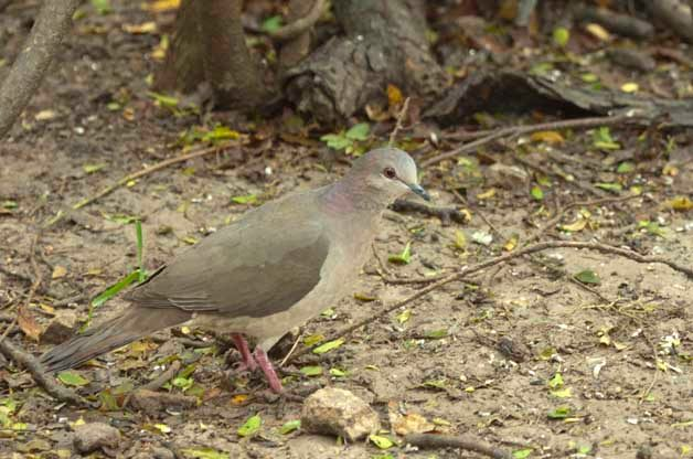 Underneath most bird feeders in the area, you'll find White-tipped Doves cleaning up what others have spilled.