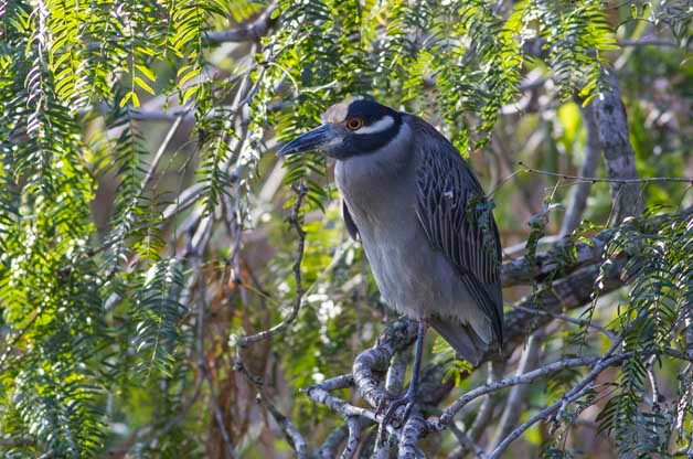 Alligator Pond is a great place to find both species of night-herons including this Yellow-crowned Night-Heron