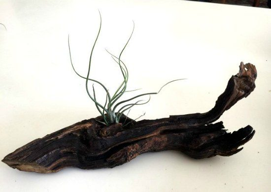 air plants mounted on wood