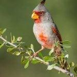 Birding Basics: Pyrrhuloxia