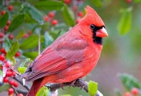 Birding Basics to Attract Cardinals