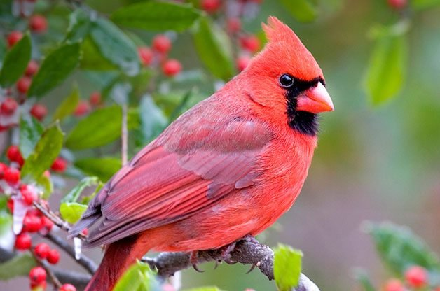 Birding Basics: Northern Cardinals