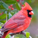 Birding Basics: Interesting Facts About Cardinals