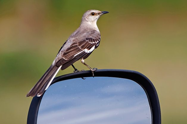 Birding Sites: Northern mockingbird