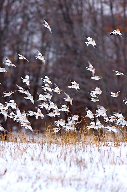 Birding sites: Snow buntings