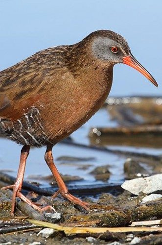 Birding Sites: Virginia rail