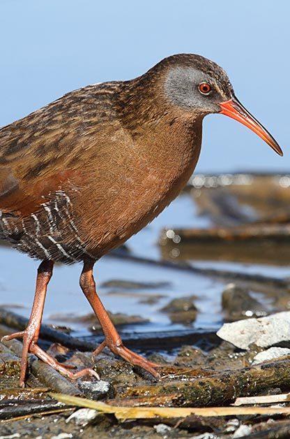 Birding Sites: Virginia rail